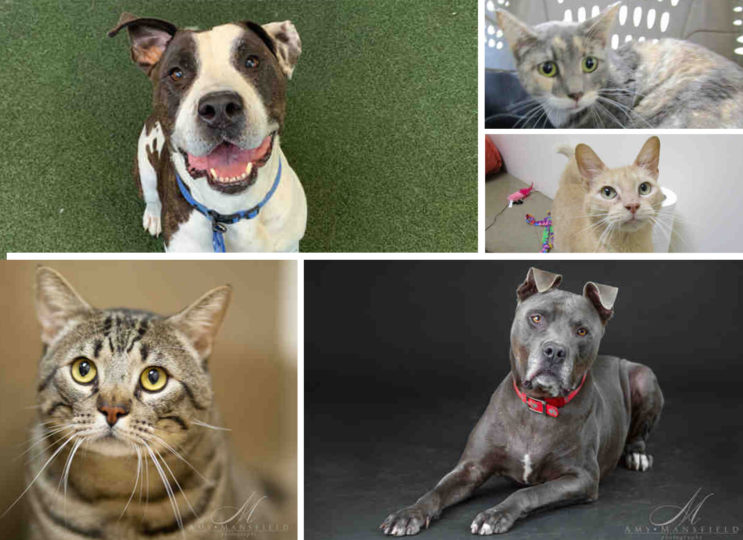 Collage of available cats and pit bulls up for adoption at the County Department of Animal Services.