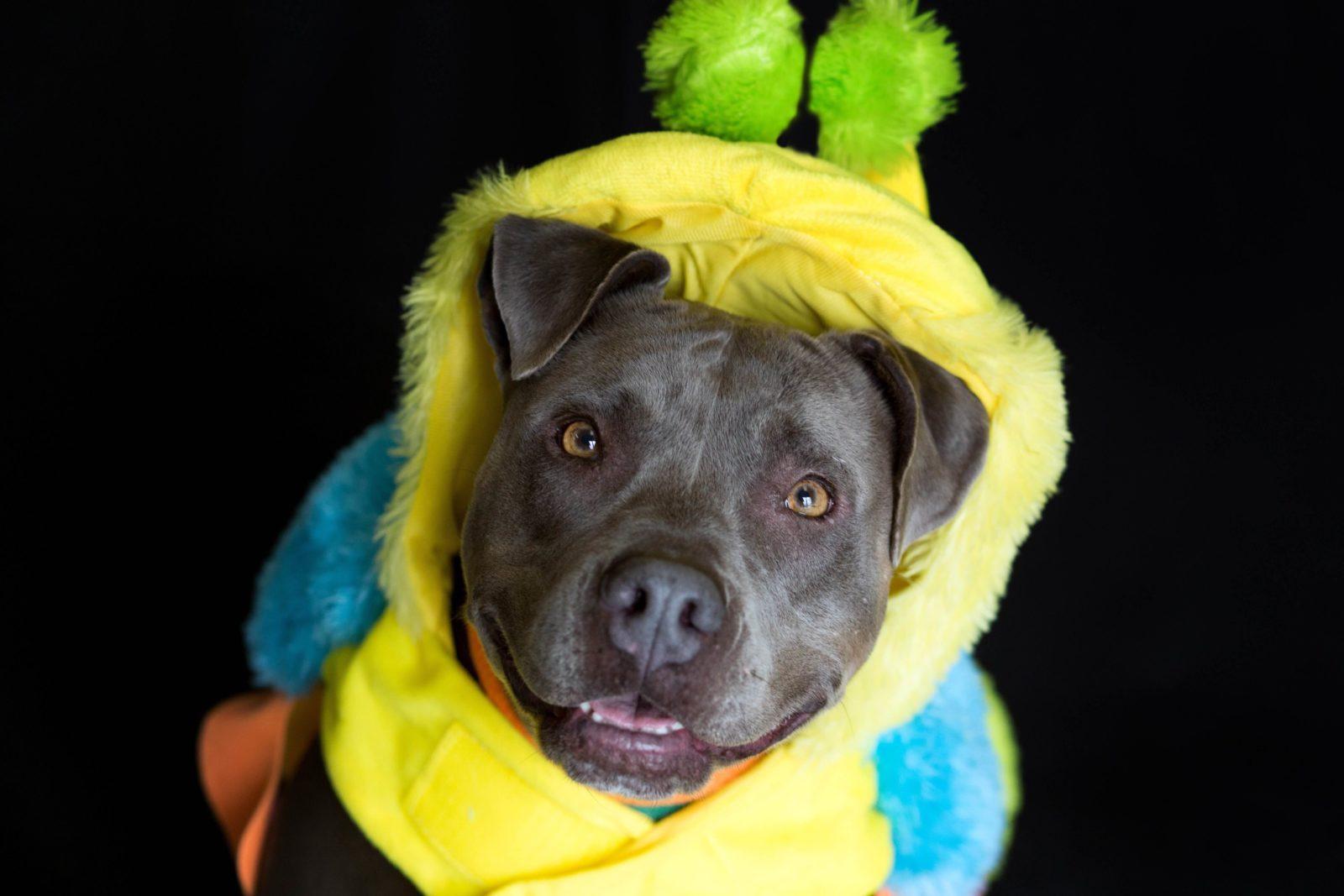 pitbull_caterpillar_costume
