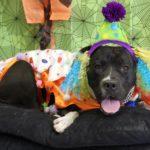 pitbull_clown_costume