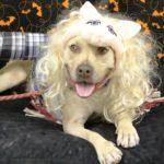 pitbull_misspiggy_costume