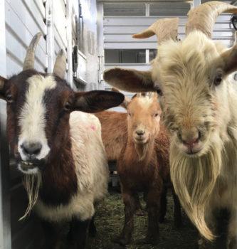 seized_goats_010917_1600px