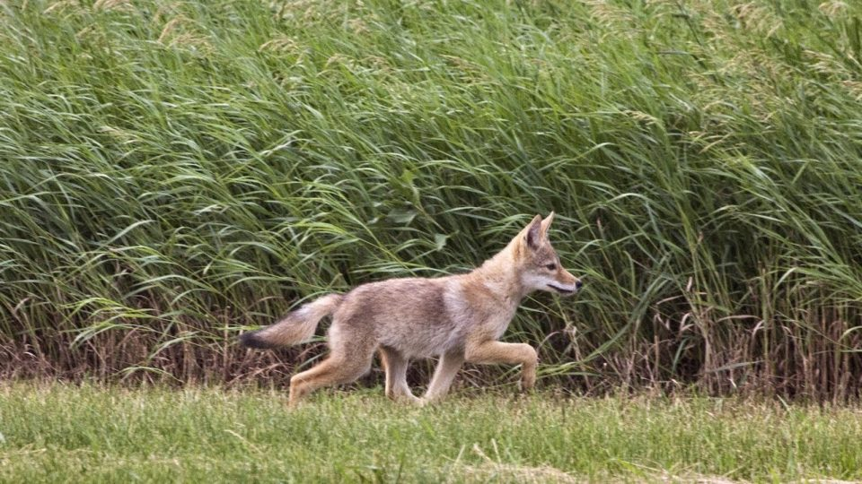 VIDEO: Learning to Live with Coyotes