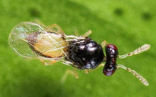 wasp-acpparasite
